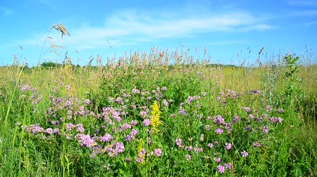 вереск : Wild flowering meadow in central strip of Russia