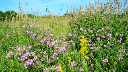 briar : Wild flowering meadow in central strip of Russia