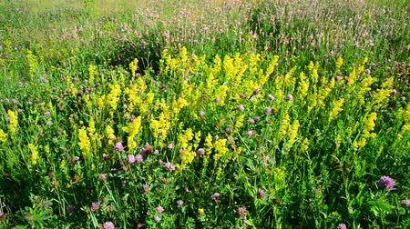 вереск : Bedstraw, heather and clover on meadow