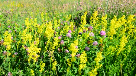 briar : Bedstraw, heather and clover on meadow