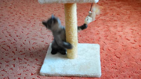 манга : gray kitten playing with scratching post and toys. age 2 months