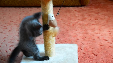 kittens playing : gray kitten playing with scratching post and toys. age 2 months
