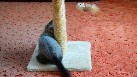 felvonás : gray kitten playing with scratching post and toys. 2 months