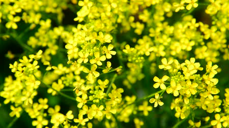 contra : flowers of yellow rapeseed closeup