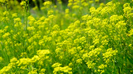 canola : flowers of yellow rapeseed closeup