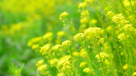 repce : flowers of yellow rapeseed closeup