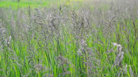 gale : Wild oat grass in field in July