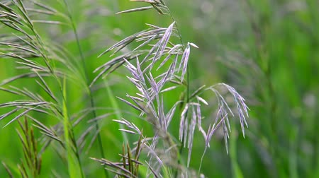 oats : Wild oat grass in field in July