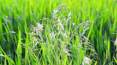 gale : Wild oat grass in field in July on a sunny day Stock Footage