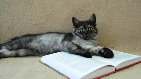мурлыкать : Gray kitten lies on an open book Стоковые видеозаписи