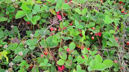 клубника : Glade of wild strawberry with ripe berries
