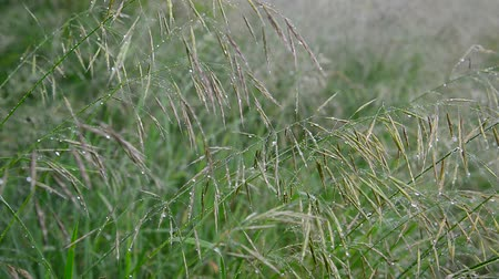 gale : Wild oats wet from rain Stock Footage