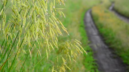 furrow : Wild oats wet from rain, near the dirt road