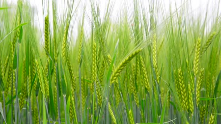 gale : Young rye ears close up Stock Footage