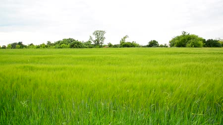 gale : Young green rye field in June. Russia