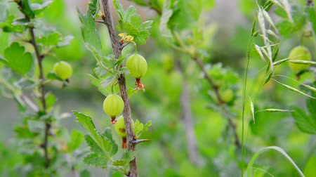 agrest : Branch with ripe gooseberry swings in wind Wideo