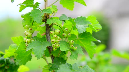 смородина : Sprig of green immature currant