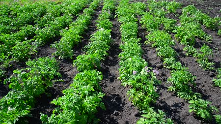 field kitchen : Plain beds of potatoes in field