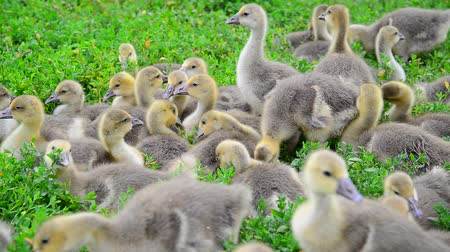 tweak : brood of young goslings nibble grass