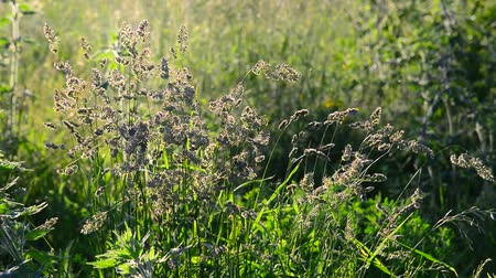 podsvícení : Wild tall grass swaying in wind