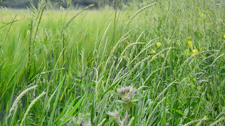 grassplot : field grasses and flowers in Russia Stock Footage