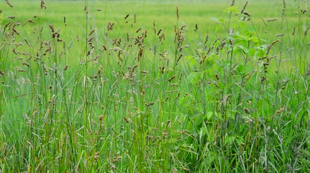 mead : Wild grass swaying in wind, Russia