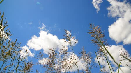 rump : Tall grass swaying in wind against the backdrop of beautiful sky