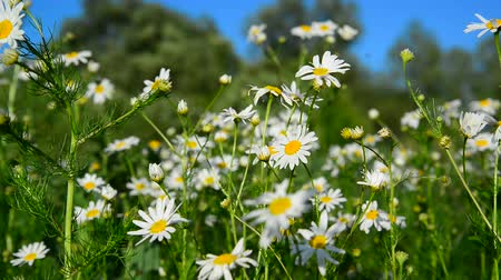 camomile : Chamomile on meadow on sunny day Stock Footage