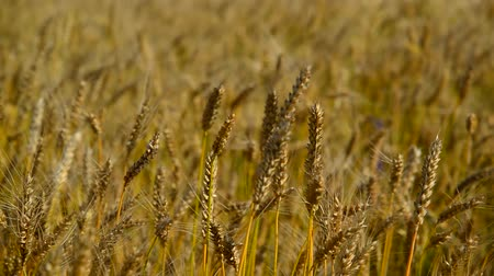 крупные планы : Spikes of ripe wheat close-up. Russia