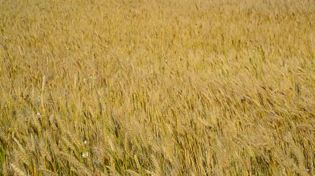 крупные планы : ripe wheat field in August. Russia Стоковые видеозаписи