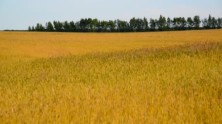 spikes : ripe wheat field in August. Russia Stock Footage