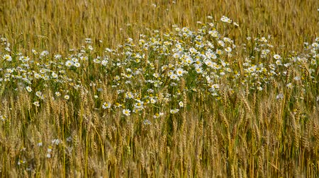 крупные планы : Glade of camomiles in ripe wheat field