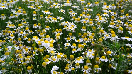 camomile : Glade with field chamomiles