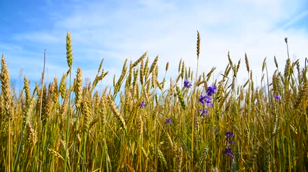 floweret : Wheat field with blue wildflowers