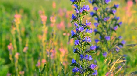 опылять : Blue meadow flower close-up in sunset light, Russia