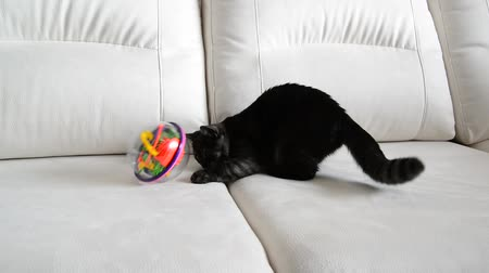 kittens playing : Gray kitten playing with toy on couch