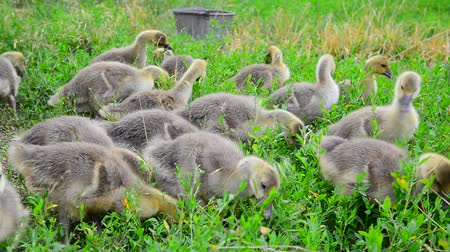 avlu : young geese eating grass Stok Video