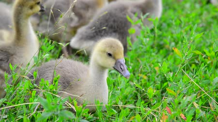 tweak : young geese eating grass Stock Footage