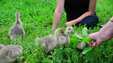 breeder : two housewives feed grass of young goslings