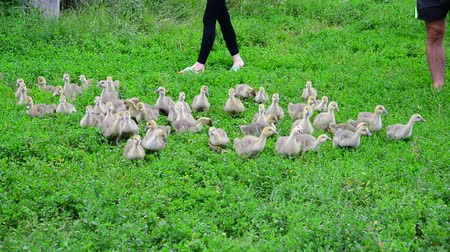 breeder : Small geese run along from poultry farmers