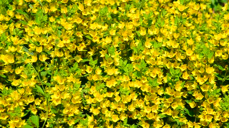 pontilhado : Lysimachia vulgaris swaying in the wind
