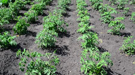 hajtások : Beds of young shoots of tomato
