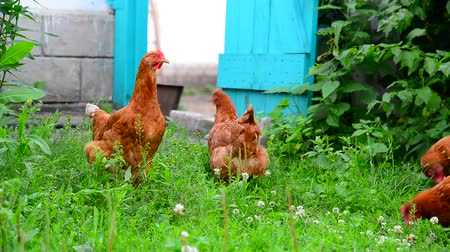csip : beautiful thoroughbred chickens pinch the grass in courtyard of rural house Stock mozgókép