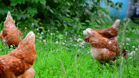 kneifen : Beautiful thoroughbred chickens pinch the grass in courtyard