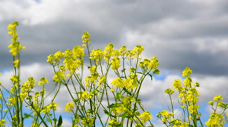 canola : Yellow Barbarea vulgaris close-up and insect Stock Footage