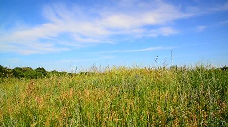 mead : Wild meadow of Central Russia in July