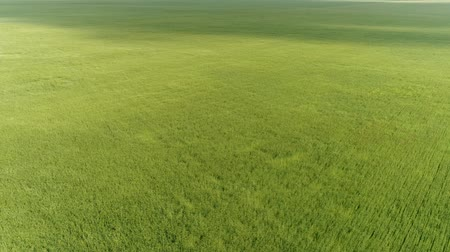 emelkedő : Top view of green wheat field during a strong wind