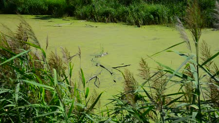 kamış : Wet river covered with duckweed