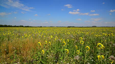 wiet : Field of young sunflower with weeds
