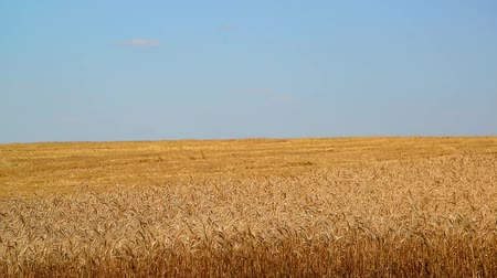 dry stalks : Yellow field of ripe wheat half chamfered